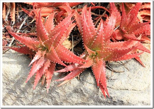 130403_Lotusland_Aloe-Garden_AM_Aloe-dorotheae_02