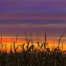 Sky Maize by Kenneth Keifer - Landscapes Sunsets & Sunrises ( indiana, colorful, maize, cornfield, silhouette, vivid, vibrant, yellow, landscape, corn, sun, farm, sky, nature, autumn, evening, foreground, september, clouds, orange, midwest, beautiful, agriculture, multicolor, horizon, agricultural, farming, silhouetted, field, color, sunset, fall, sundown, crops, brilliant, tassels, harvest, october )