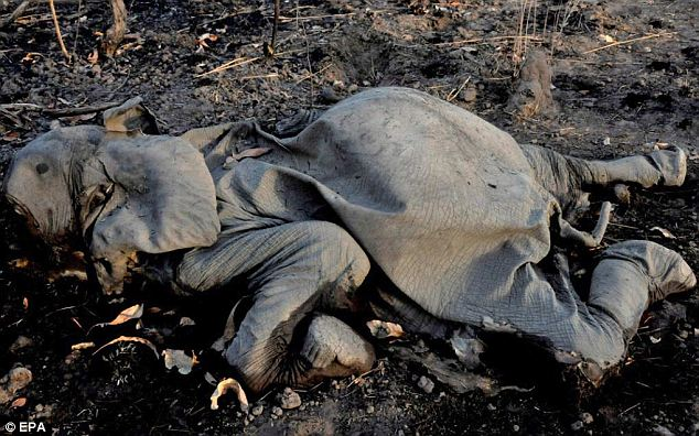 According to The International Fund for Animal Welfare (IFAW), poachers slaughtered 300-400 elephants for their tusks in Cameroon since 2012, up to 200 in a single park. Here is just one of the dead. EPA via dailymail.co.uk