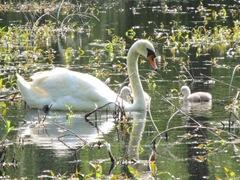 baby swans 4