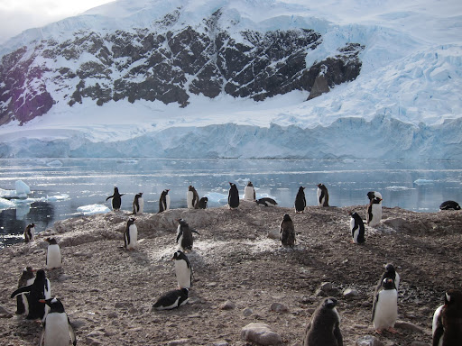 Gentoo Penguins at the landing site for Neko Harbour.