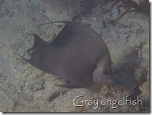 Gray angelfish, English Cay, Belize