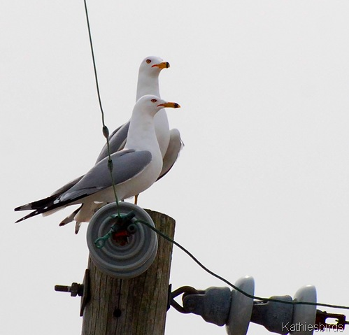 1. Ring-billed Gulls-kab