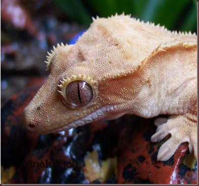 Amazing Animal Pictures crested geckos (15)