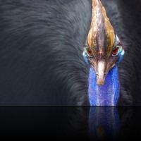 Cassowary-200x150