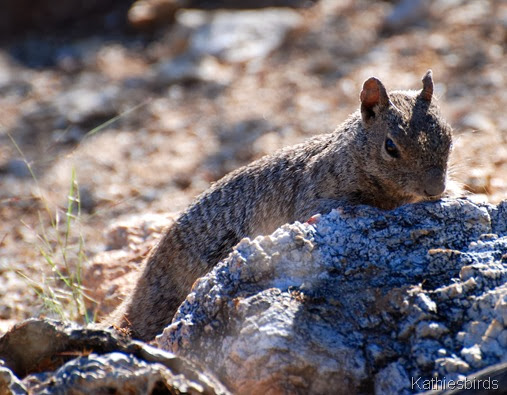 9. rock squirrel-kab