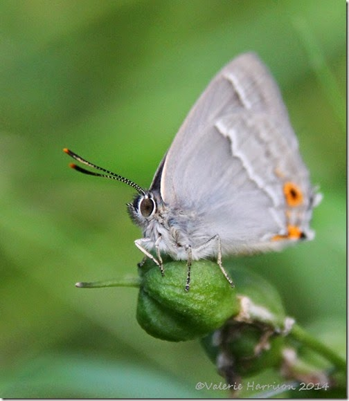 Purple-Hairstreak-5