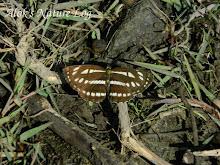 Nymphalidae%25252c%252520neptis%252520sappho%25252c%252520common%252520glider