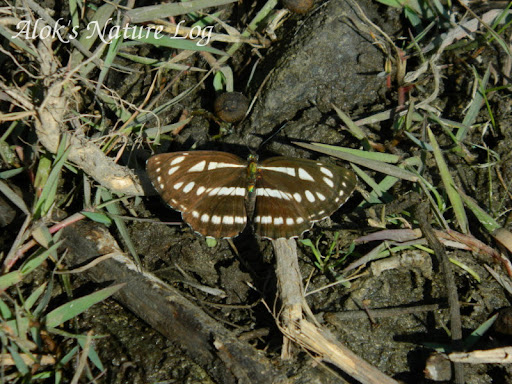 Nymphalidae%25252c%252520neptis%252520sappho%25252c%252520common%252520glider