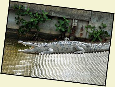 4a - Crocodile