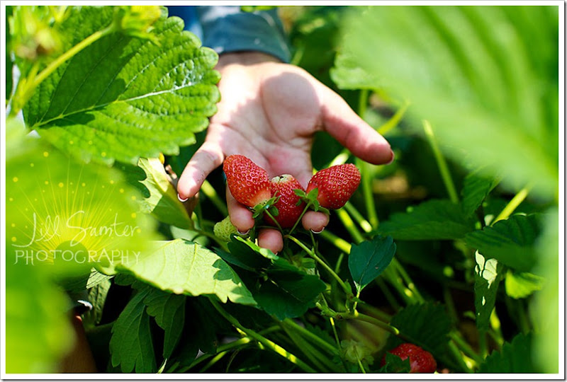 strawberryfields-4944