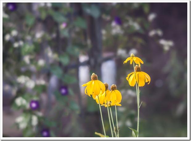 tall yellow coneflowers