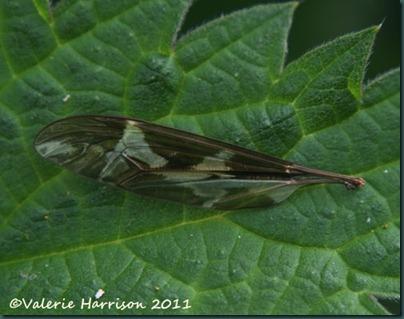 cranefly-wing