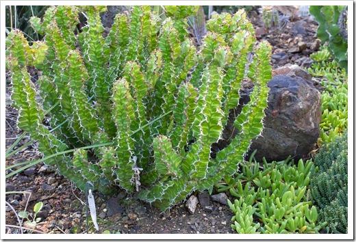 121013_RBG_Euphorbia-pseudocactus-Zig-Zag_02