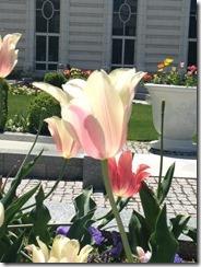 Whilte tulip