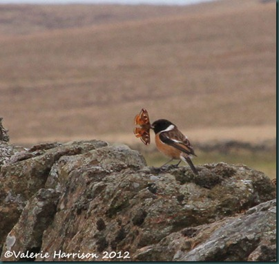 43-stonechat-and-emperor
