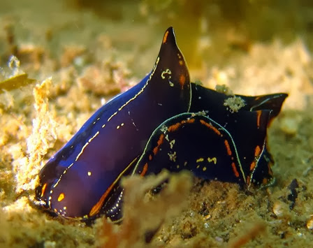 Amazing Pictures of Animals, Photo, Nature, Incredibel, Funny, Zoo, Chelidonura hirundinina, Aglajidae, Αlex (10)