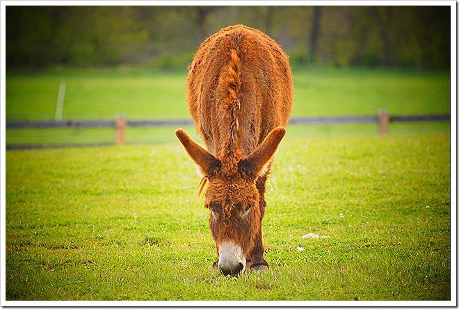mule-public-domain-picture (9)