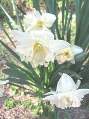 daffodil frilled 2