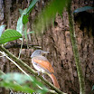 Rufous-winged Philentoma-01.jpg