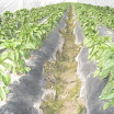 Warraichagrifarms.com-Tunel-Farming55.JPG