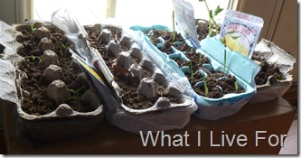 Egg carton seed starters