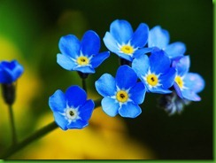 forget-me-nots1-1