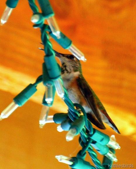 20. rufous hummingbird-kab