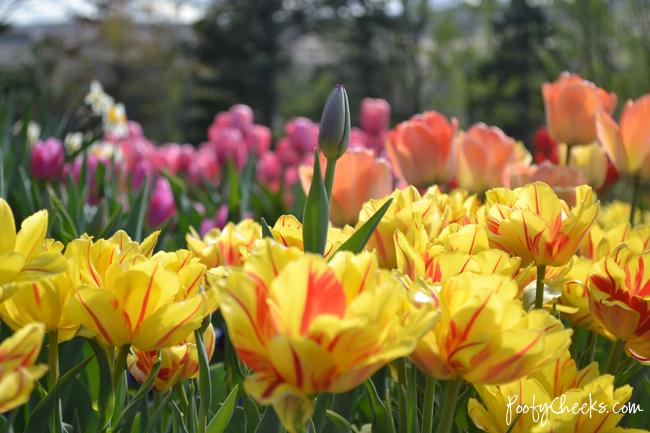 Tulip Festival in Lehi, UT
