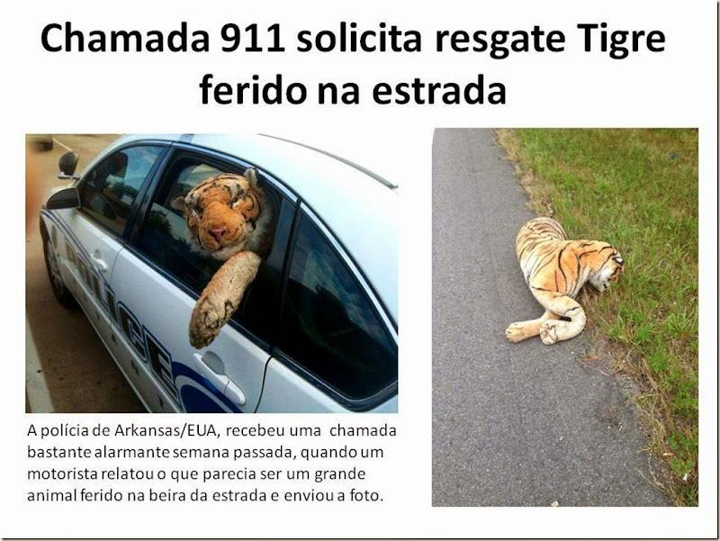 Chamada 911 solicita resgate Tigre ferido na estrada