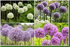 Alliums Mix