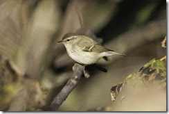Hume's Warbler-8D3E5533