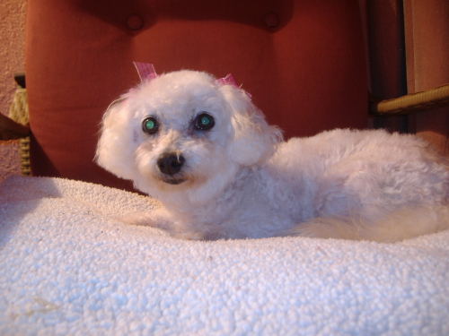 Just two weeks ago, Camillia adopted a frightened and confused bichon frise who now answers to the name Ms. Chardonnay.