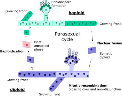 Overview of the Parasexual Cycle in the Filamentous Fungus A. nidulans