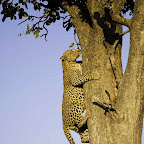 Leopard am Baum, Vumbura Plains, Okavango Delta, Botswana © Foto: Dana Allen | Wilderness Safaris