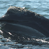 Skim-feeding north atlantic right whale