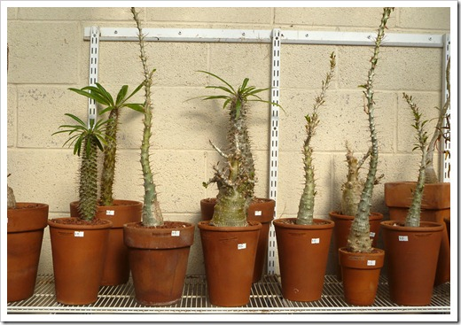 120208_CactusJungle_caudiciforms