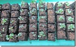 Brassica_seedlings
