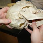 skull_condyles_unlabeled.JPG