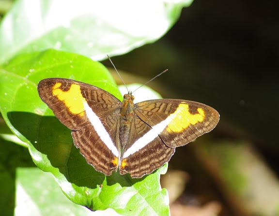 Adelpha capucinus velia FELDER & FELDER, 1867. Sertao de Barra do Una (Sao Sebastiao, SP). 17 février 2012. Photo : J.-M. Gayman