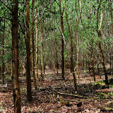 Sarawak Planted Forest アカシア・プランテーション / Sarawak Planted Forest acacia plantation
