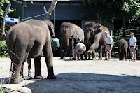Elephants playing soccer