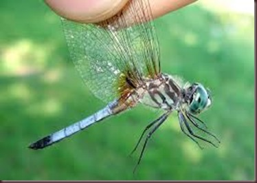 Amazing Pictures of Animals, photo Nature, exotic, funny ,incredibel Zoo, Dragonfly, Insecta, Alex (22)
