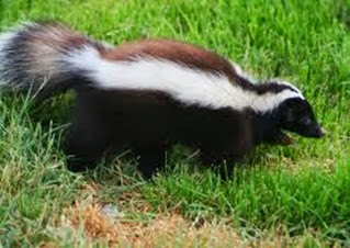 Amazing Pictures of Animals, Photo, Nature, Incredibel, Funny, Zoo, Skunks, Polecats, Mammals, Alex (14)
