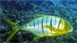 Indo-Pacifique caranque royale