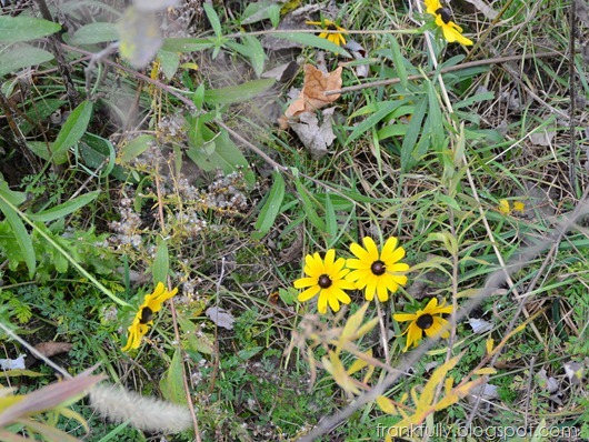 the last black eyed susans in November