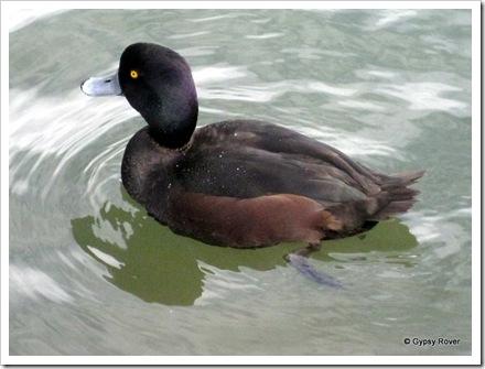 Dab Chick on Western Springs lake.