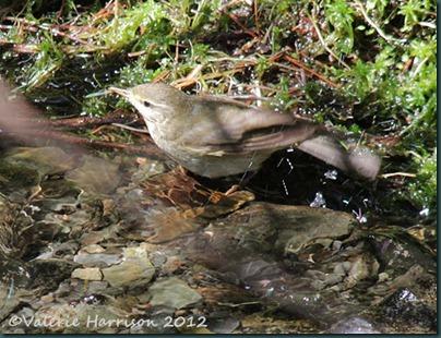 11-bathing-warbler