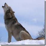WolfHowling