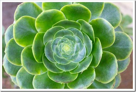 120929_SucculentGardens_Aeonium-arboreum_02_thumb